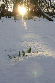 Spring's_slender_hold_beneath_winter's_grip,_Halligarth_-_geograph.org.uk_-_1727122[1]